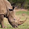 DNA to convict rhino poachers
