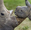Update on rhino poaching statistics