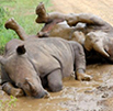 African rhinos won't hold out for much longer, IUCN experts warn