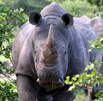 Estimating Rhino Numbers